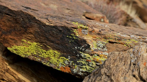 Lichens add color to rock along the Precipice Trail
