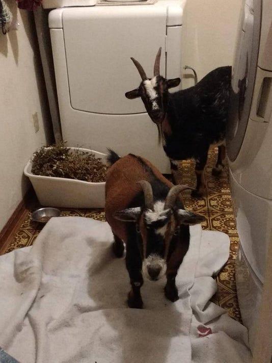 636407315563156867-irma---goats.jpg