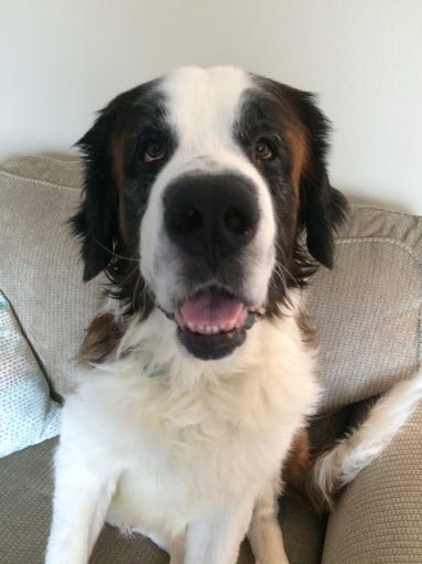 Kokomo is a 6-year-old male brown and white Saint Bernard.