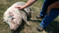 A plethora of pigs: Potbellied porkers are poor picks as house pets