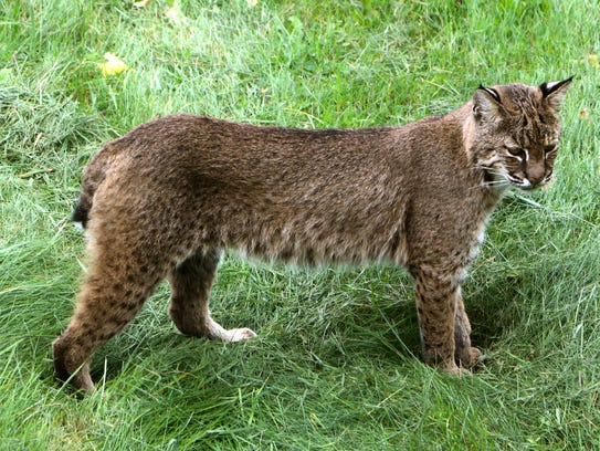 Katrina Allen and her family watched this bobcat hunt