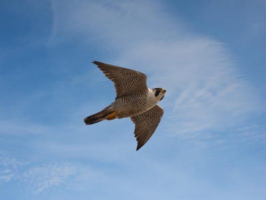 Peregrine Falcon. Photo by Carl Mueller
