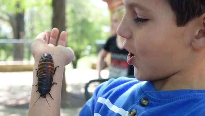 Isaac West, 5, of Mountain Home, watches a Madagascar hissing cockroach crawl on his arm Friday during the 14th Annual Insectival at Arkansas State University Mountain Home. More than 800 kids from 11 area schools attended the popular event, which features all things insects.