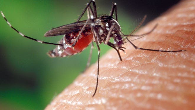A mosquito feeds on a human. Some mosquitoes can spread illnesses, including West Nile virus.