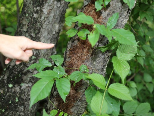 how much prednisone should i take for poison ivy