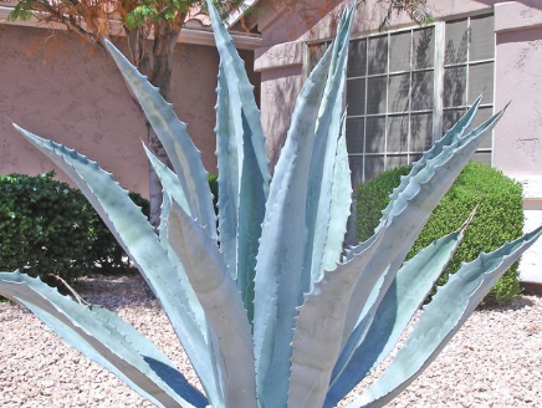 Century Plants, which are agaves, also give your garden