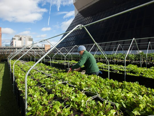Lindsay Allen harvests greens from Boston Medical Center's rooftop garden.