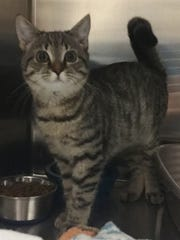 Sassy is 4-month-old brown tabby girl who actually