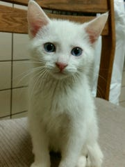 Smudge is a 9-week-old white kitten with a bit of black