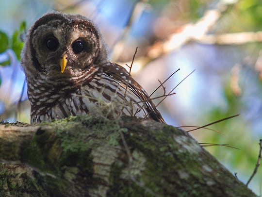 A barred owl looks curiously at his surroundings while