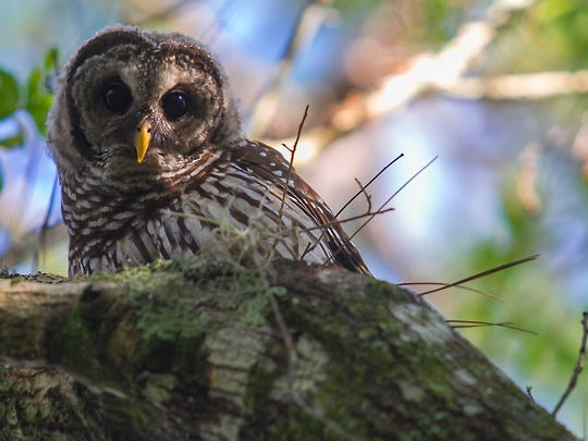 A barred owl looks curiously at his surroundings while perched on an Oak tree branch on the morning of Friday, June 17 at Babcock Ranch in Charlotte County.