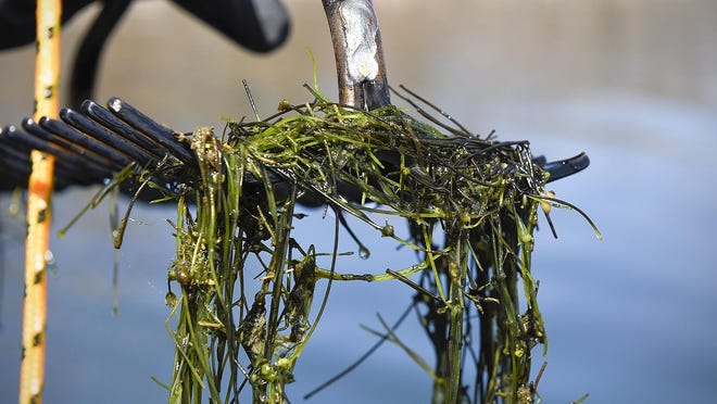 Chris Jurek, DNR aquatic invasive species specialist, uses a double sided rake on a rope to collect samples of starry stonewort in Lake Koronis near Paynesville, Minn. The aquatic weed is creeping across the Great Lakes region and grows very fast.