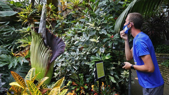 Jared Holden a science teacher at Independence High School, briefly drops his mask to take in the pungent odor of the corpse plant or titan arum at the Franklin Park Conservatory July 10, 2020.