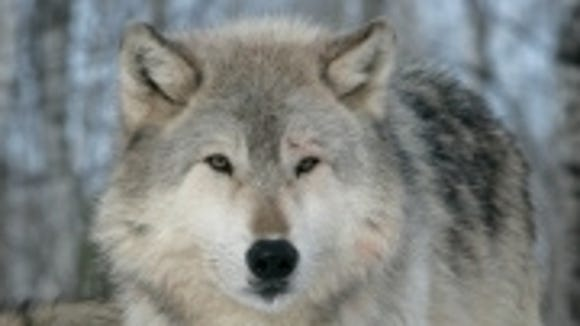Awww, the wolves  aren't coming to the Southern Tier Outdoor Show.