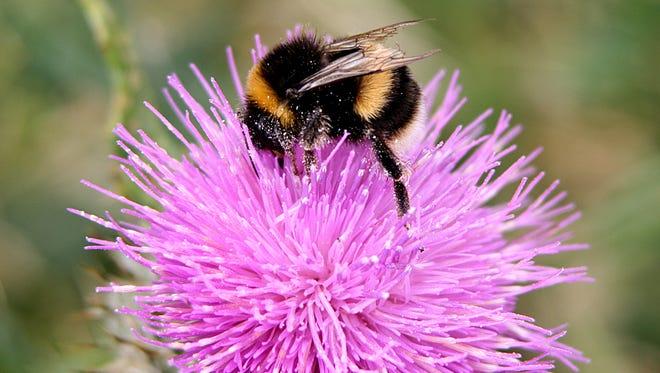 Common Eastern Bumblebee.