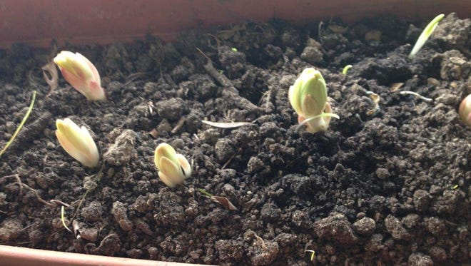 Not too much of a knockout, these peek-a-booing bulbs give the hope of spring. The lilies were placed in window boxes back in December when planting outside cameto an end.They have remained hidden beneath soil until a month ago.