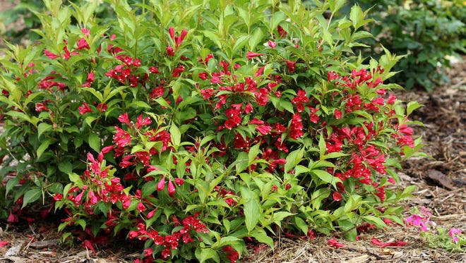 Red flowers pop on Sonic Bloom Red weigela throughout the summer.