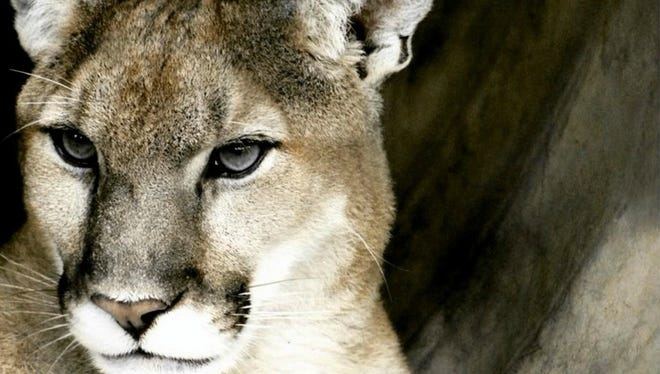Mountain lions are elusive creatures in Western North Carolina.
