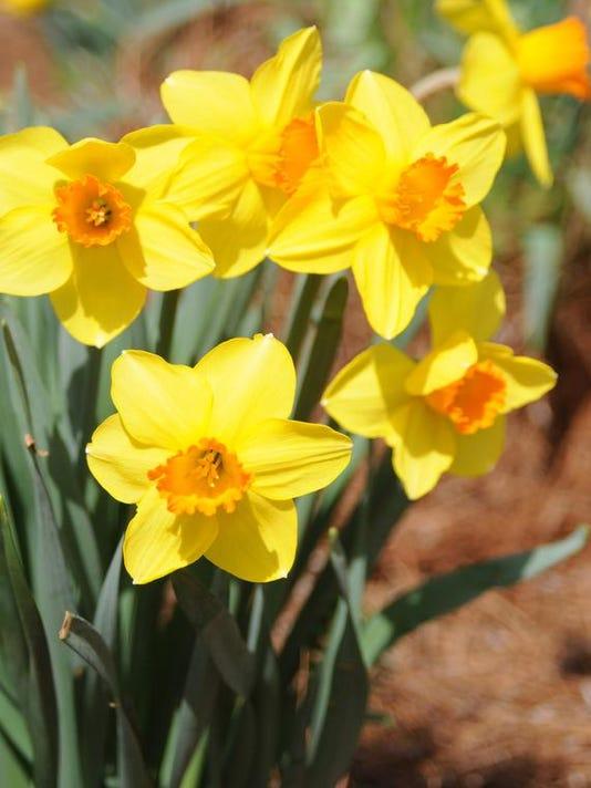 sg20140331_daffodils.jpg