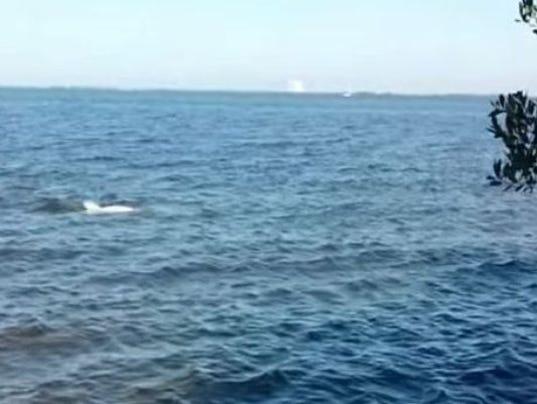 635558122647489604-dolphin