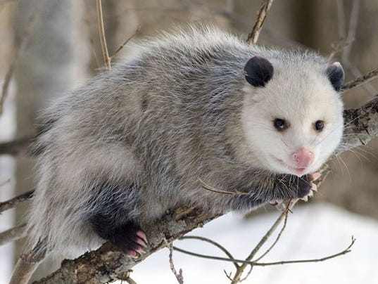 635869024629563182-635859505212767358-possum-drop-2.jpg