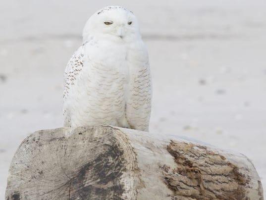 636176681381165190-636176090772642040-snowy-owl-3.JPG