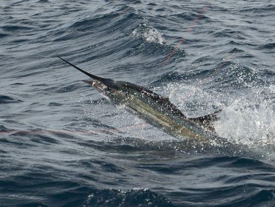 636480064049582550-sailfish.JPG
