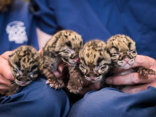 4 Clouded Leopard Cubs Will Melt Your Heart