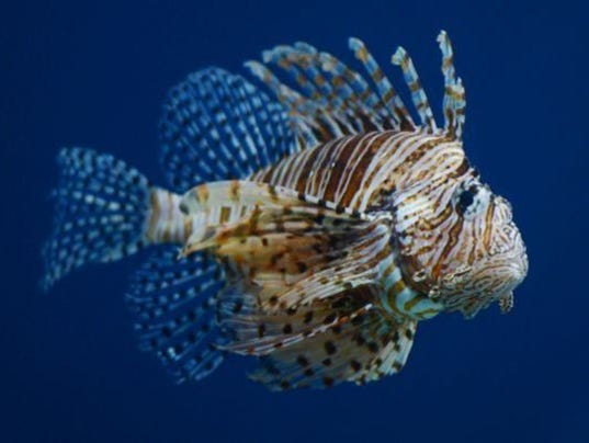 Lionfish threaten thousands of fishing jobs for Poisonous fish to eat