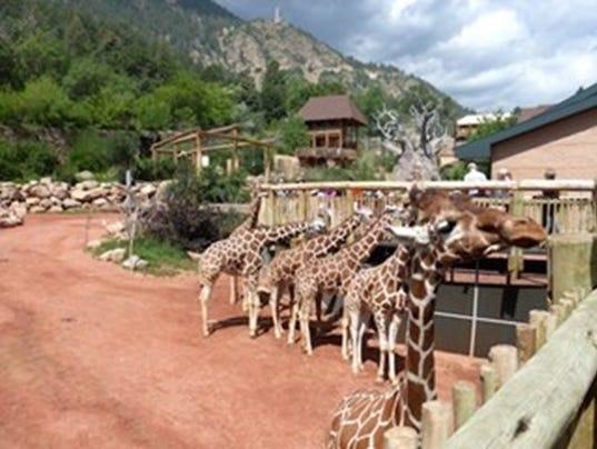 live stream cheyenne mountain zoo giraffe 39 birth cam 39. Black Bedroom Furniture Sets. Home Design Ideas