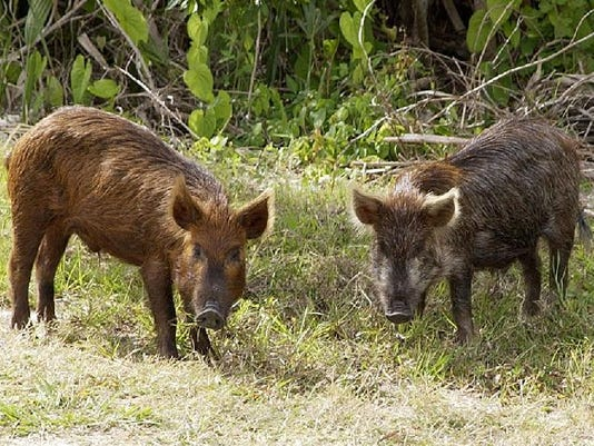Feral Hogs.png