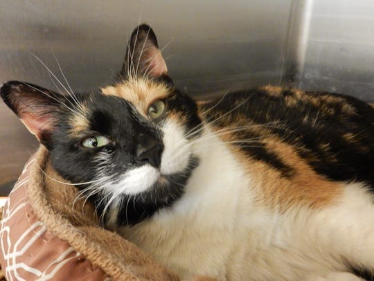 Judy is a 1½-year-old, spayed, short-haired, calico