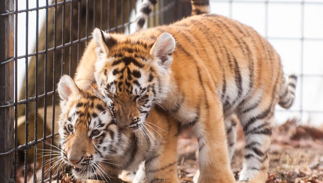 Cohanzick Zoo will hold its annual Kids Fest from 11 a.m. to 2 p.m. May 6. Visitors can check out Bengal tigers Mahesha and Rishi, some of the zoo's newest residents, during their visit!
