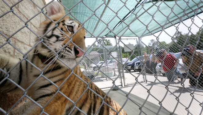 A young female tiger, looks out of a cage at the City of Conroe Animal Shelter Thursday, April 21, 2016, in Conroe, Texas.