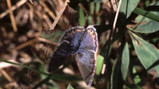 A Karner blue butterfly rests on a plant at Necedah National Wildlife Refuge. The refuge houses the largest known concentration of this rare butterfly.