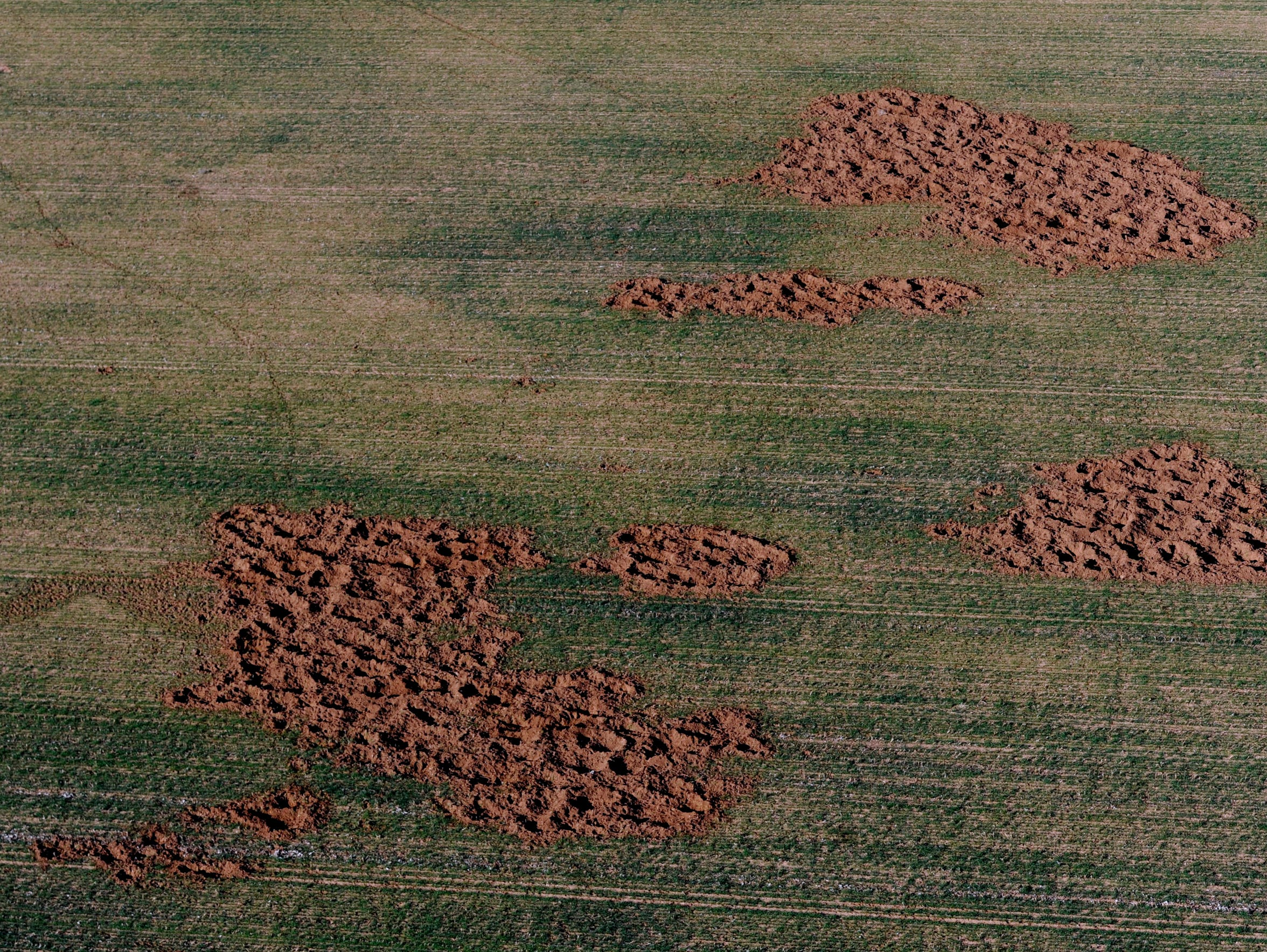 Hog damage in a field in Fisher County on Feb. 25.