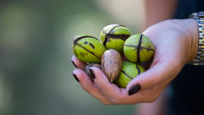 Pecans from the Green Valley Pecan Co. in Sahuarita, south of Tucson, are shown earlier this month. Prices have climbed for the nuts amid more healthy eating and demand from China.
