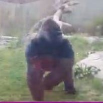 This silverback gorilla seen here just moments before it cracked two inch thick glass