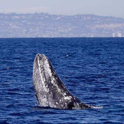 More dead whales found in San Francisco Bay Area