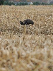 Emu in a farm field in Odessa.