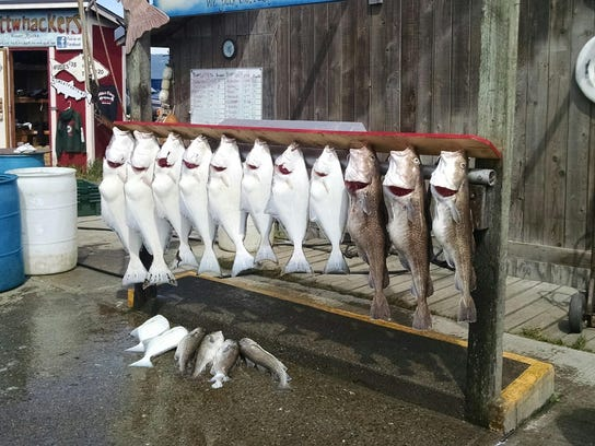 Halibut, left, and Pacific gray cod hang outside a