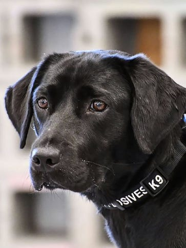 Lulu the labrador, a former bomb-sniffing dog recruit.