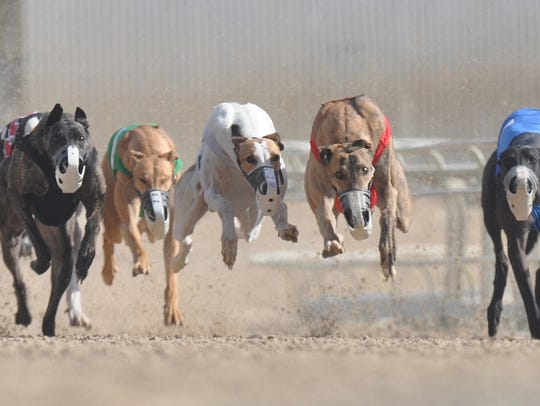 Greyhounds compete at the Naples-Fort Myers Greyhound track.