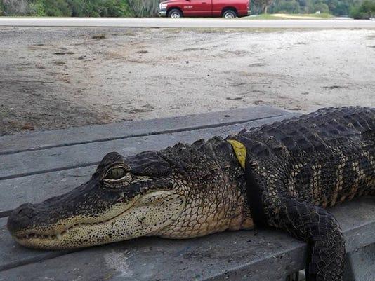 ODD Pet Alligator