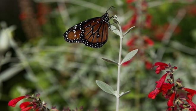 The Phoenix Desert Botanical Garden started the Great Milkweed Grow Out initiative to preserve the monarch population which has declined as much as 90 percent over the last 20 years.