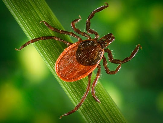 The black-legged tick, sometimes called the deer tick, is responsible for transmitting Lyme disease. These are smaller and less widespread than dog ticks, but are on the rise across Wisconsin.