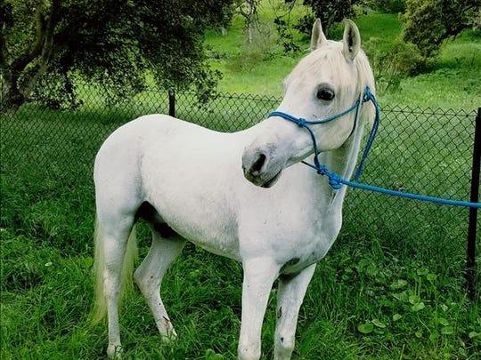 Olaf, 24-year-old male Arabian horse. No. 96584.