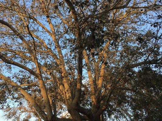 636415092985760376-browntrees2.jpg