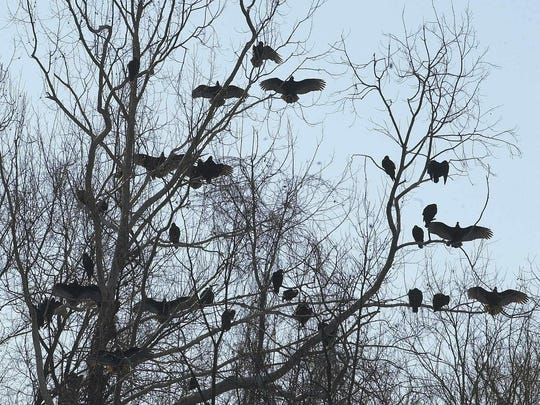 - Silhouetted in the morning sun, a flock of vultures sit in a sycamore tree on the banks of Lake Taneycomo. Because the birds' body temperatures drop overnight, they hold their wings outstretched to gather heat from the sun.