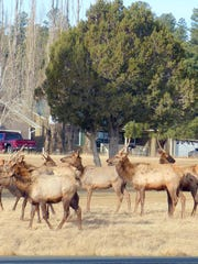 A cluster of young bull elk, like teenage boys, hung out together. At night, residents report hearing the older males bugling in their seasonal search for mates.